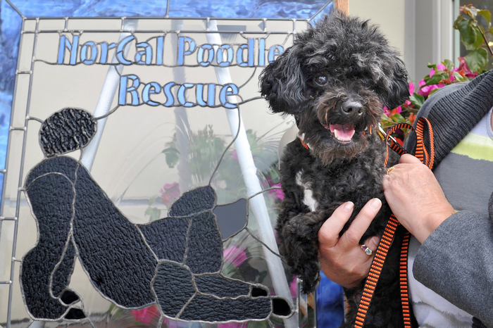 Poodle Day Carmel, CA | Poodle parade and events